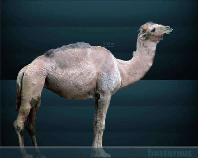 camelops