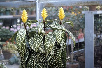 best office plants no sunlight. Grow Beautiful Zebra Plants With This Simple Care Guide Best Office No Sunlight