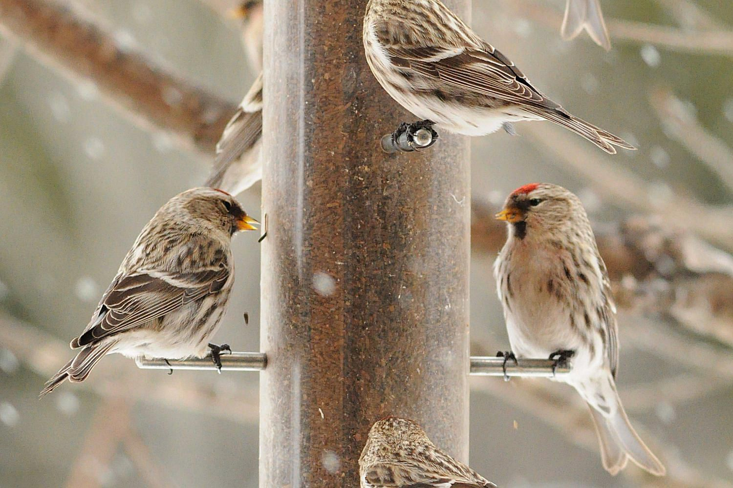 how to attract winter finches