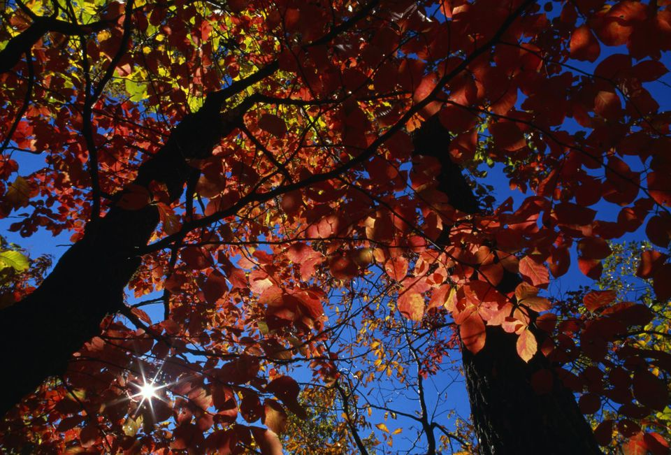Low-angle view of sun star through black gum tree (nyssa sylvatica) in autumn color, Hanging Rock State Park, North Carolina, USA.