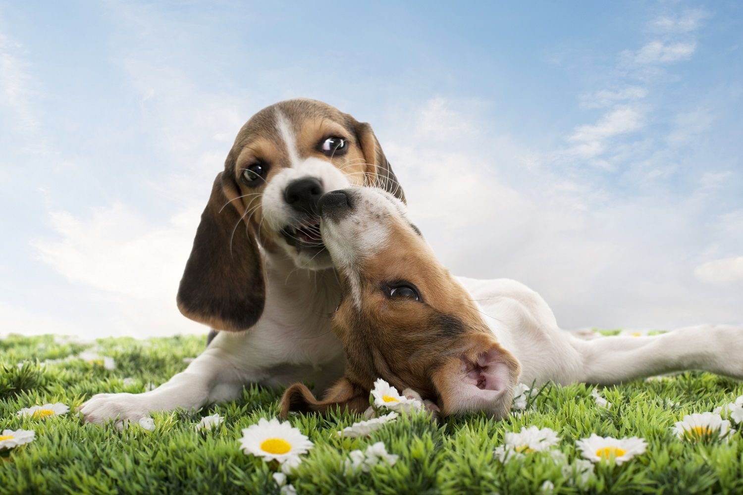 Puppy Aggression Why Dogs Fight