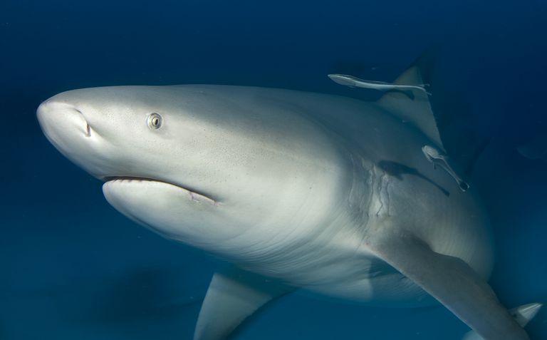 The bull shark is also known as the Zambezi shark or Nicaragua shark.