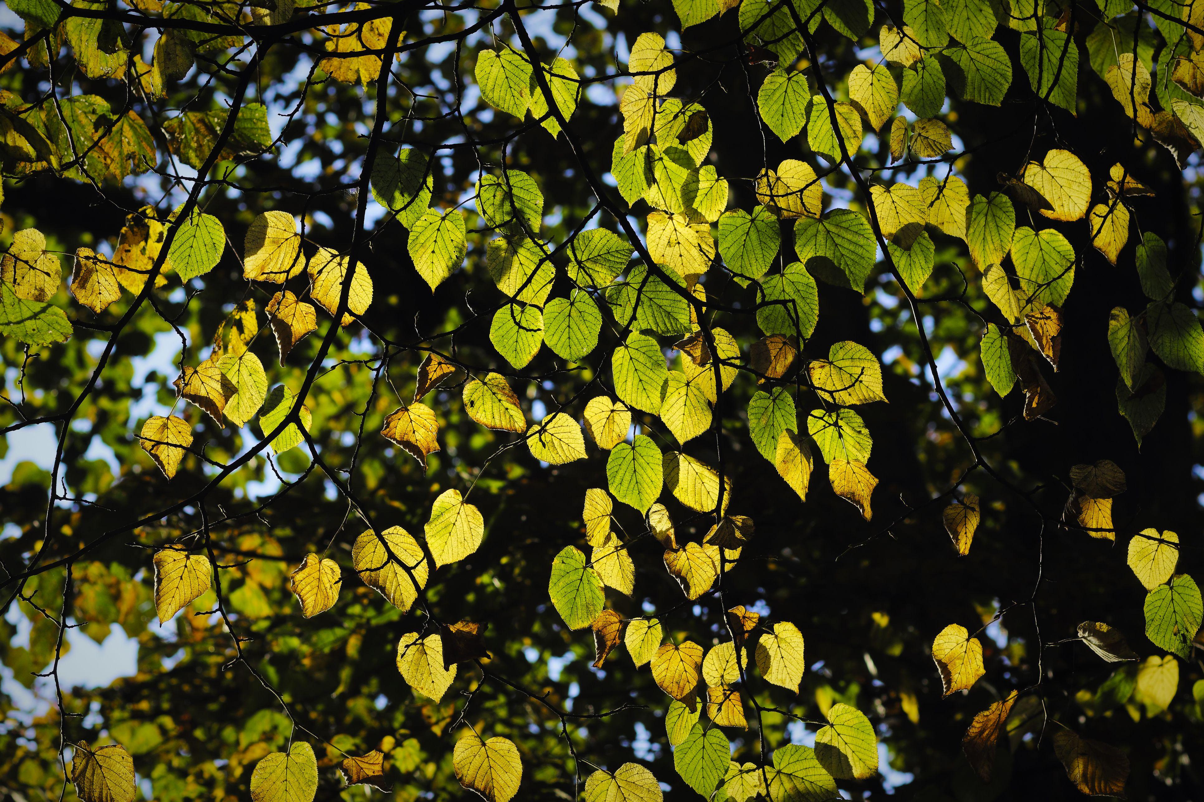 10 Species of Linden Trees (Tilia Genus)