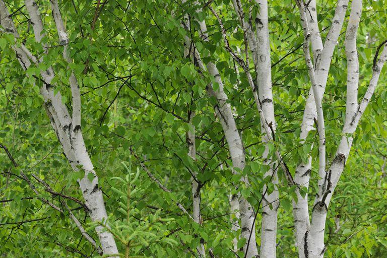 White birch,Betula papyrifera