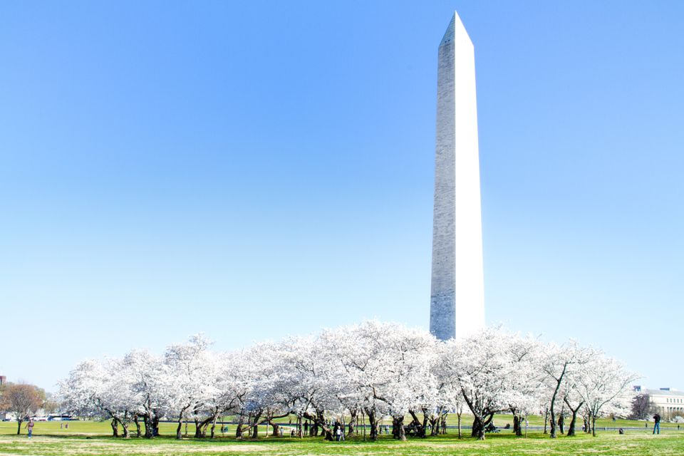 Cherry Blossoms and Washington Monument in DC