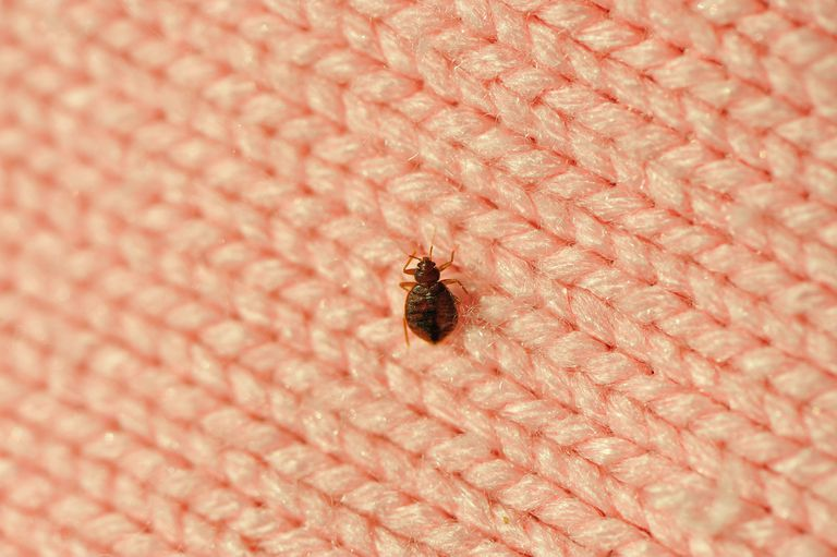 A single bed bug on a blanket fiber. The Nine Most Annoying Insects