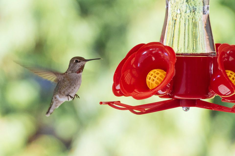 Hummingbird Season When To Put Out Feeders
