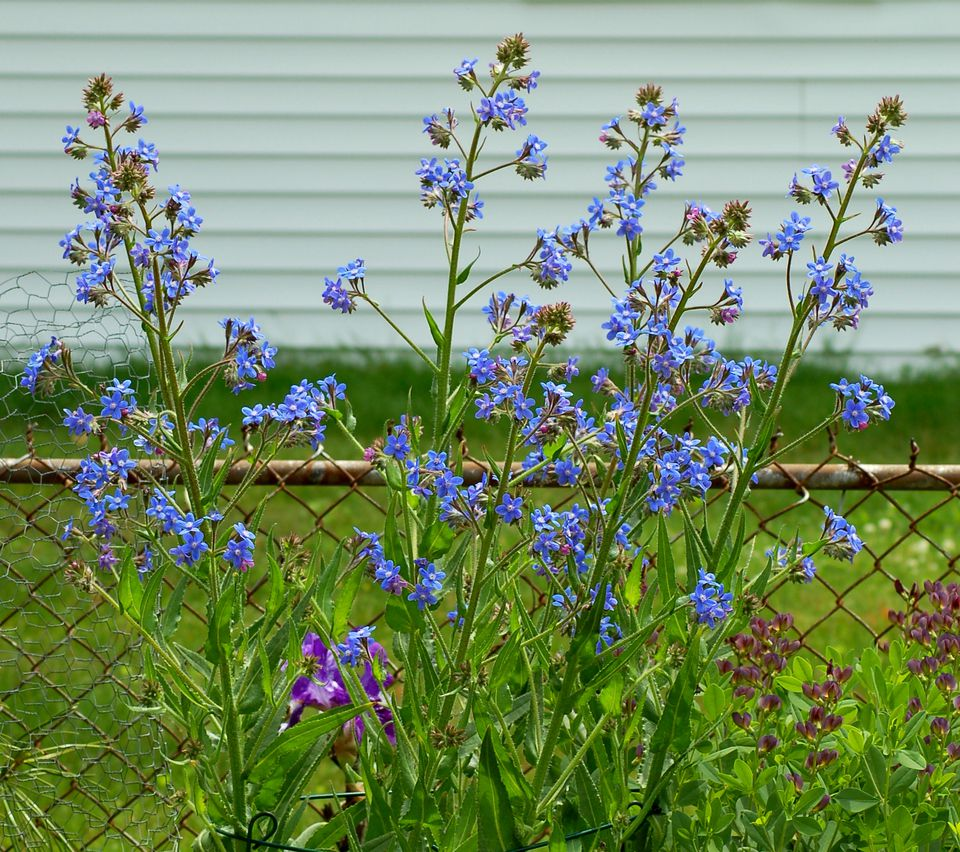 Italian bugloss (picture) is striking, being tall. Here it is in bloom.