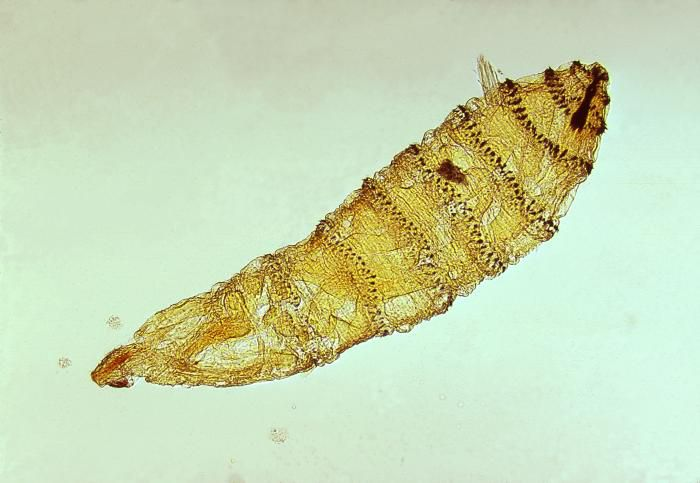 First instar larva of Cuterebra, a genus of botfly.
