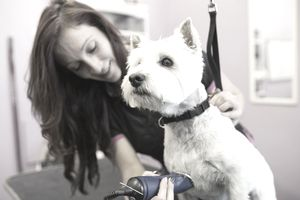 Dog groomer shaving West Highland Terrier