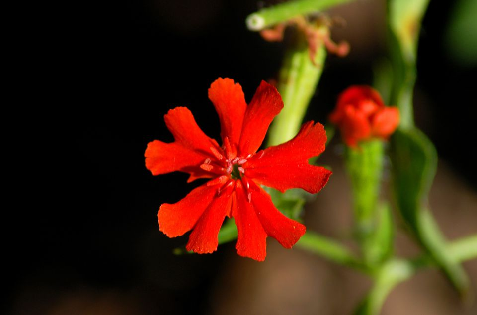 Maltese cross (image) has a bloom that can be 4 or 5 pronged. Its name comes from cases of the 5.