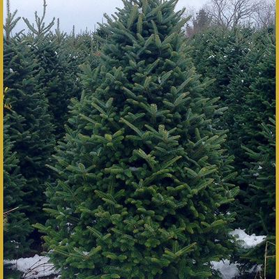 5 farms that will deliver christmas trees directly to your door - White Spruce Christmas Tree