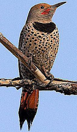 Northern Flicker - Red-Shafted Male