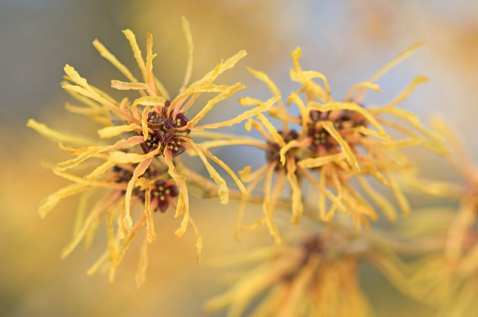 Witch hazel (Hamamelis x intermedia 'Aurora') flowers in yellow and orange.