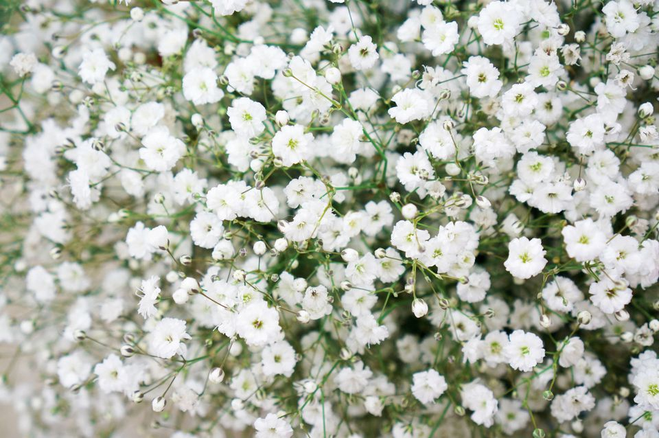 Closeup of baby's breath flowers