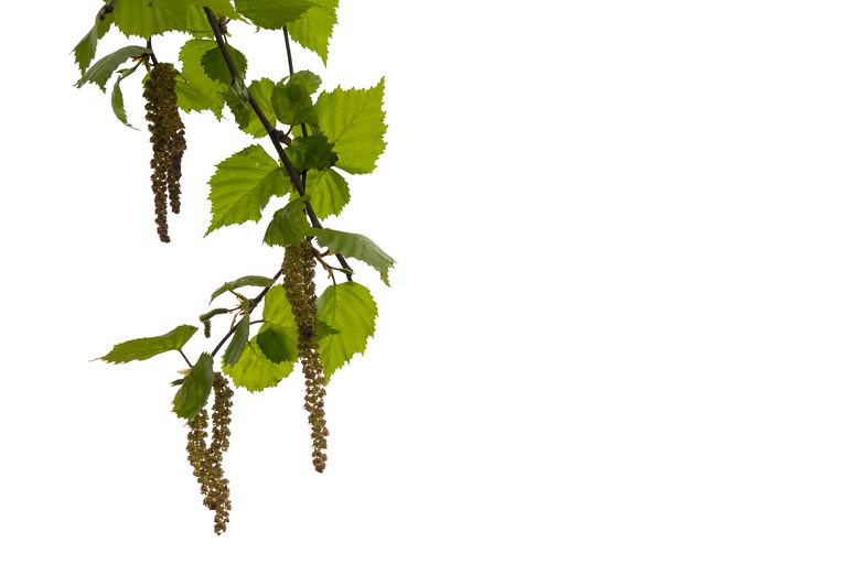 Birch flowers with transparent background.