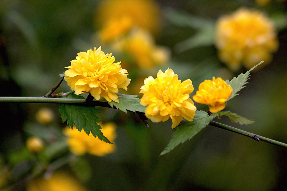 Closeup of Kerria japonica flowers on a branch.