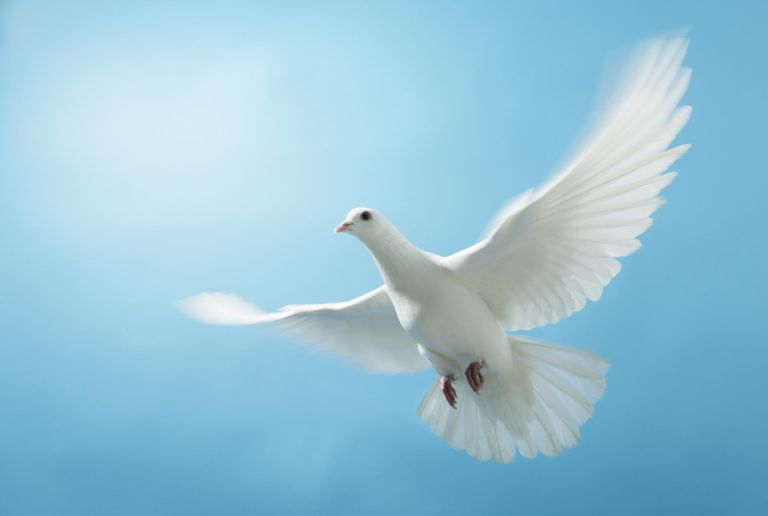 Dove in flight, against blue background, close-up