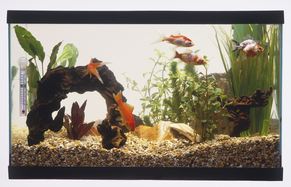Fish tank with gravel, bridge, green plants and five Goldfish (Carassius auratus) swimming.