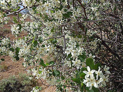 Picture of Utah Serviceberry