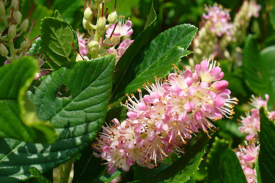 Clethra alnifolia 'Ruby Spice' 1c