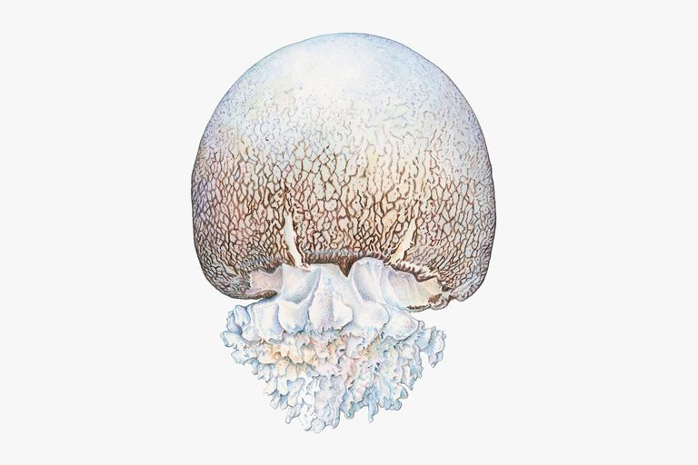 Illustration of Cannonball jellyfish (Stomolophus meleagris)
