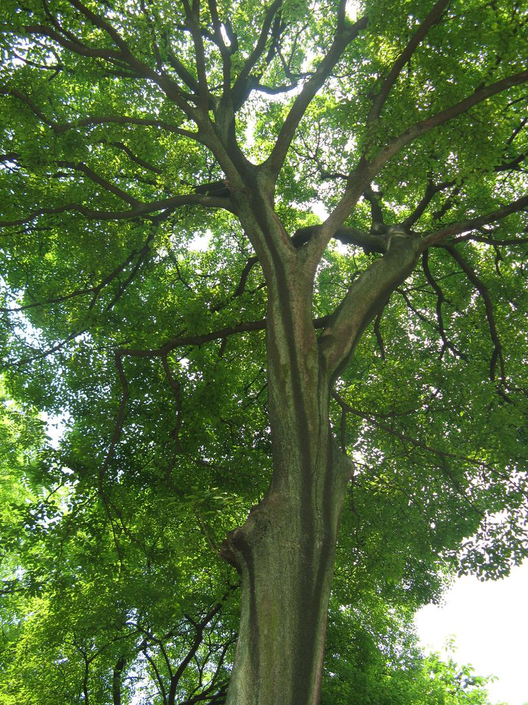 Hackberry Is A Brittle Tree But Can Grow On Most Sites