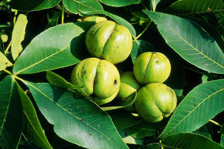carya ovata (shagbark hickory) close-up of fruit and foliage