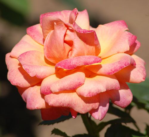 Picture of peach rose. As the photo shows, the peach rose here is really a combination of colors (or