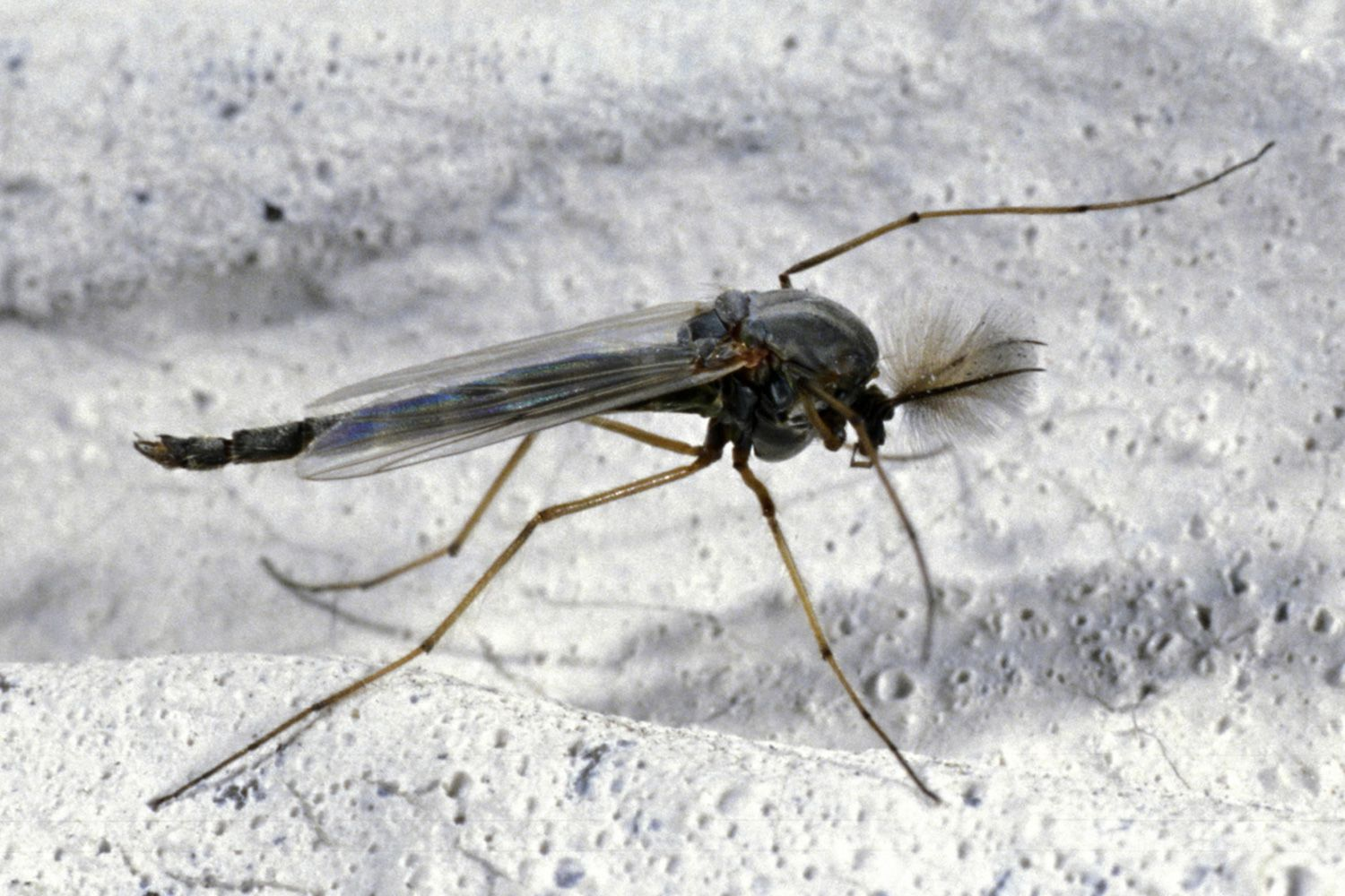 . Insects Commonly Mistaken for Mosquitoes