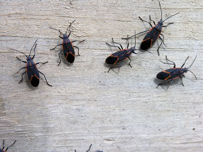 Small House Beetles Uk Whp Info