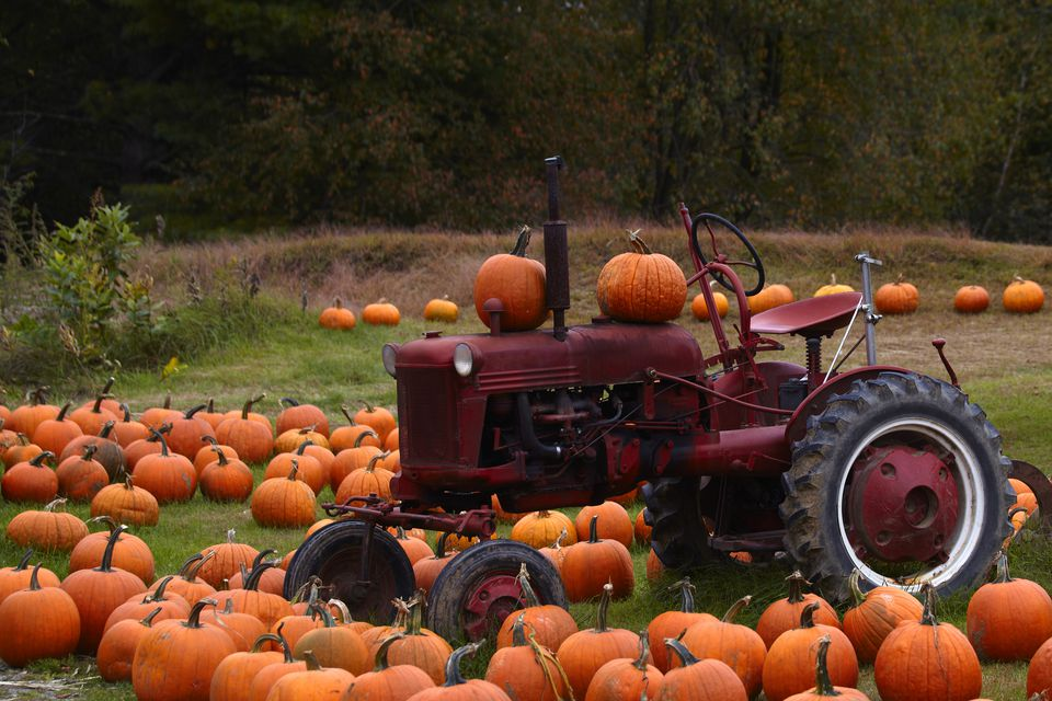 Pumpkins around an old tractor