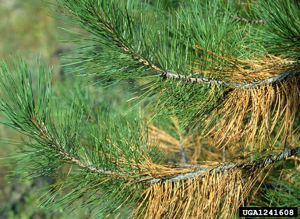 Fall Needle Yellowing of Ponderosa Pine