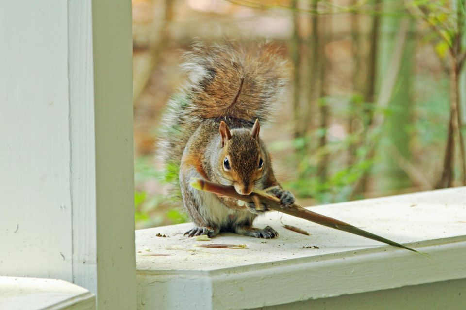 You can get a squirrel out of the house - humanely.