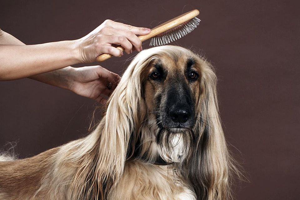 Top 5 supplies for basic dog grooming person brushing afgan hounds hair in studio view of dog solutioingenieria Gallery