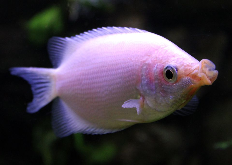 Helostoma temminckii - Kissing Gourami
