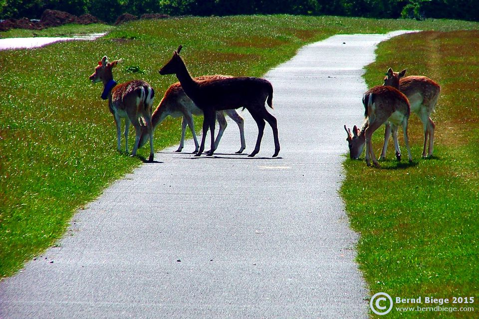 Need to get away from the Big Smoke? Just outside Dublin City deer will cross your path ...