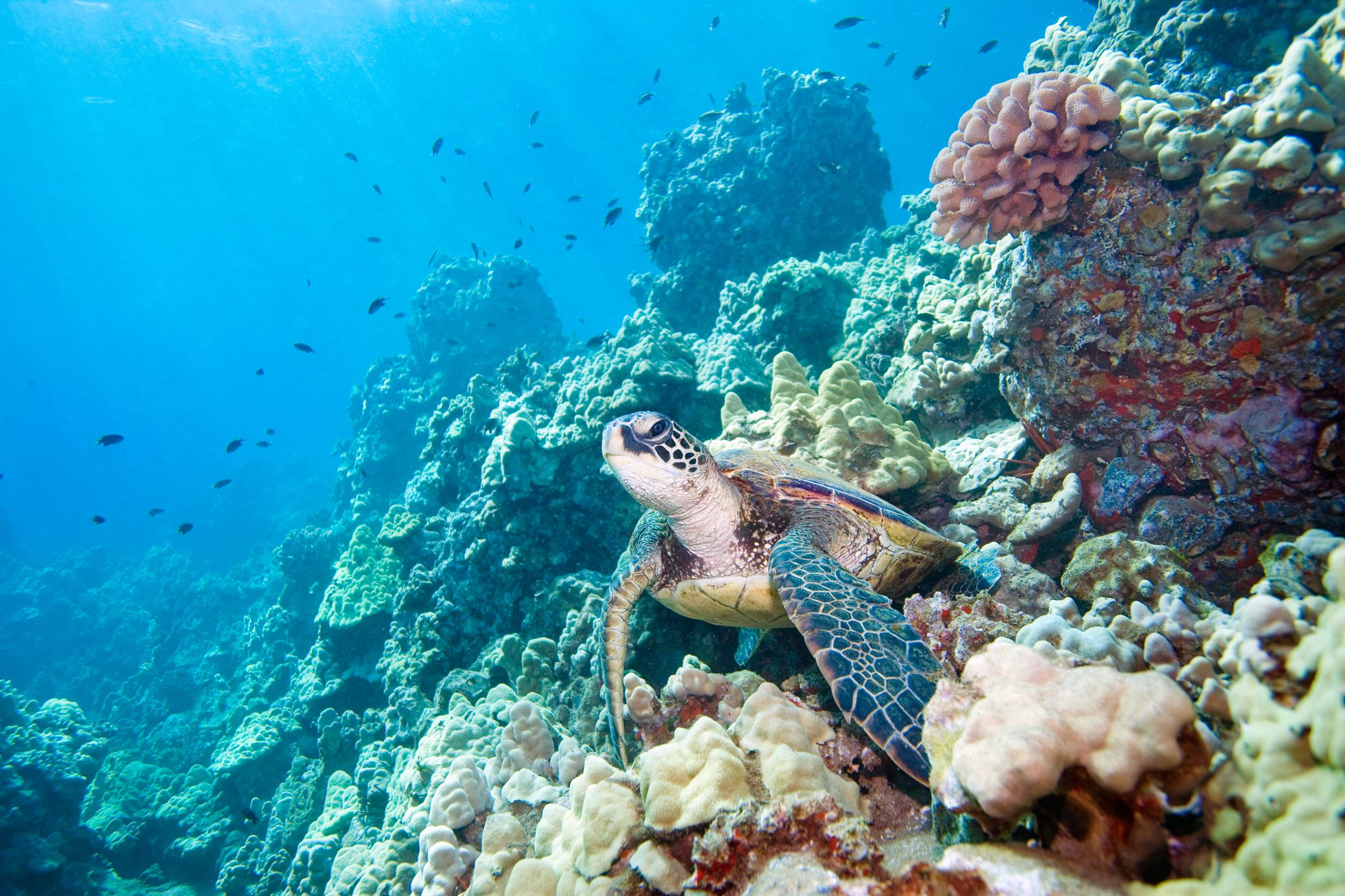 the effects of the depletion of the green sea turtle in the andros barrier reef on the coral reef gr Also their ability to recover after depletion is low on average: on the great barrier reef  effects on marine mammals and sea turtles.