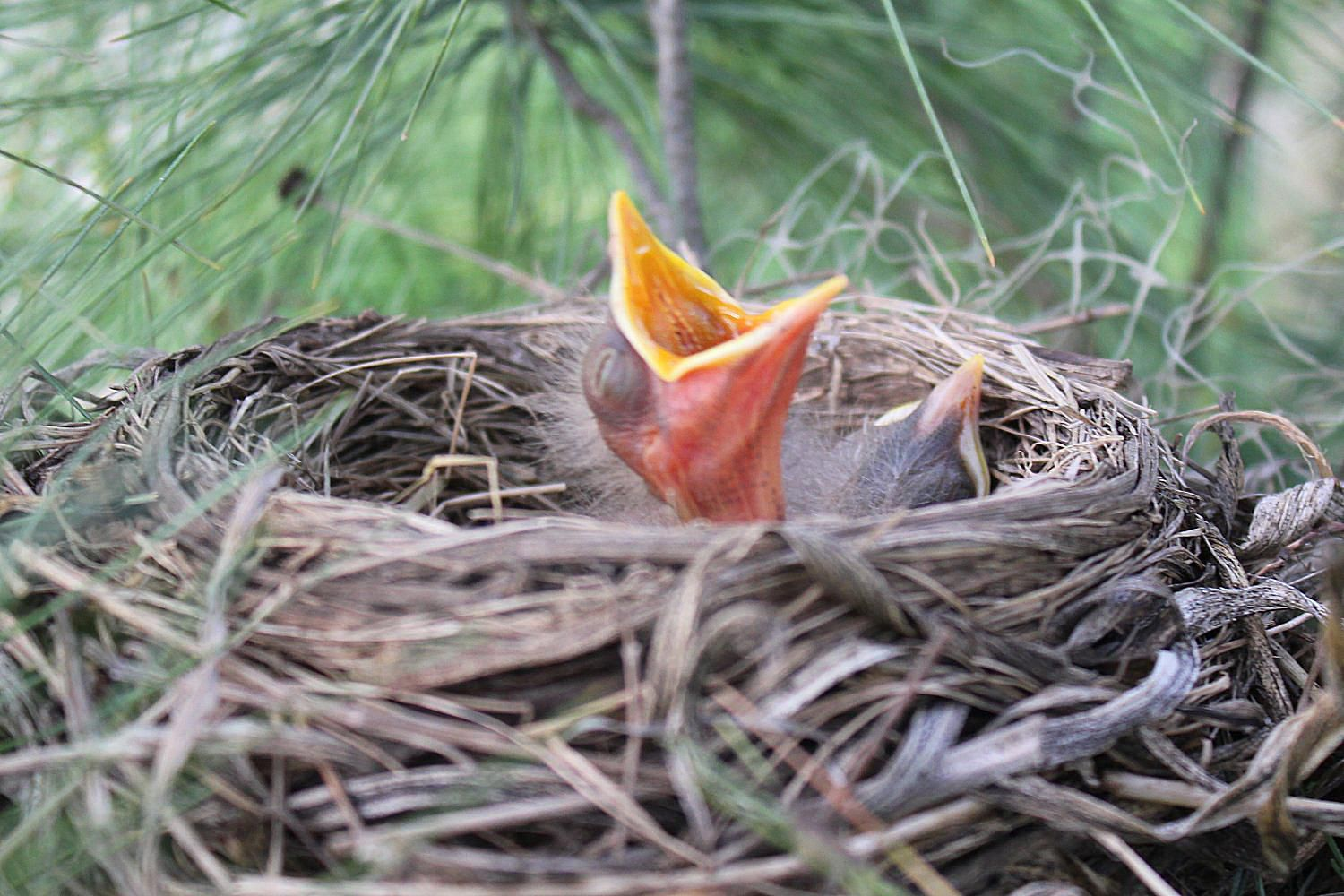 Brood Definition What Is A Bird Brood