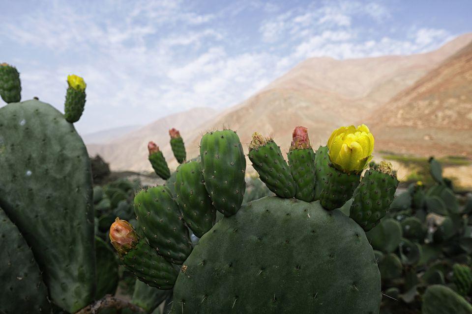 Closeup of prickly pear cactus in bloom.