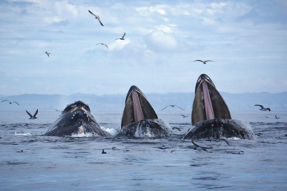 Lunge Feeding Humpback Whales