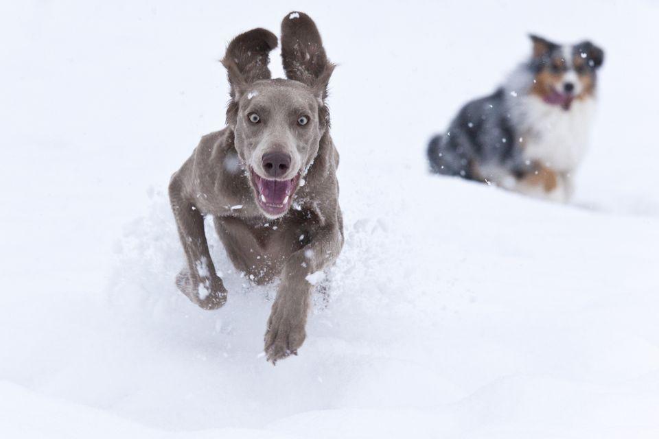 Dogs in Deep Powder Snow