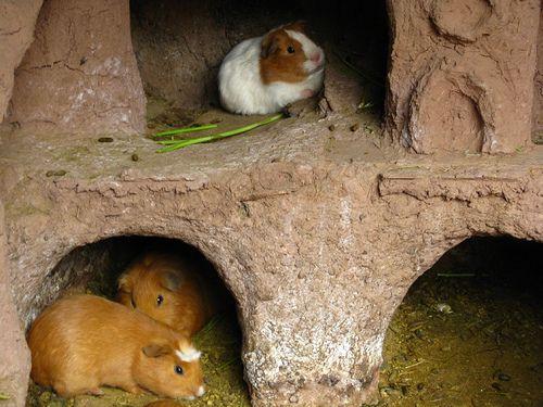 Guinea Pigs (Cavia porcellus) in Hutches in Peru