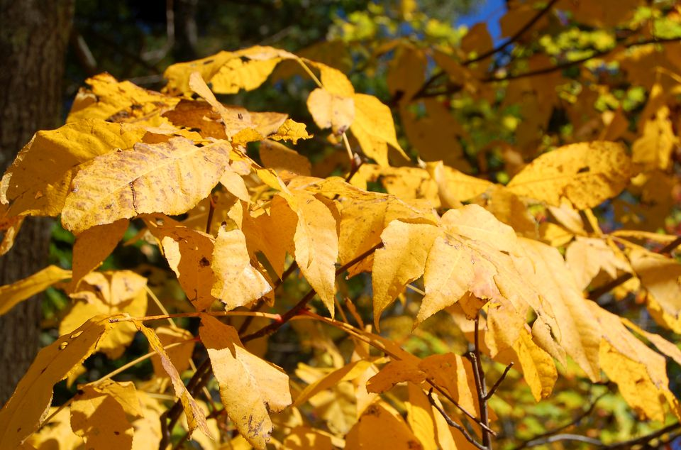 Image of fall foliage of shagbark hickory tree.