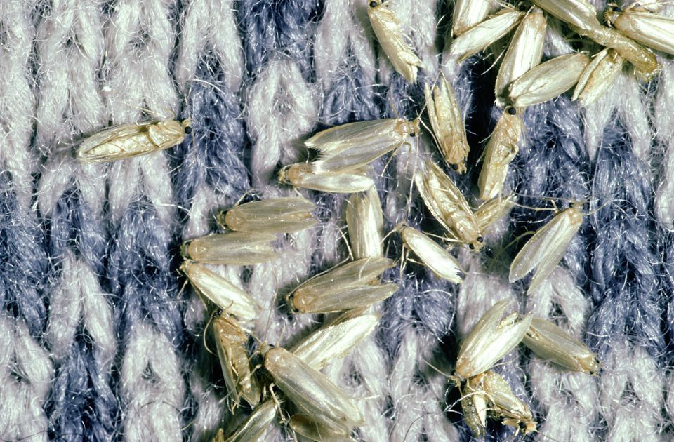 How To Control And Identify Bugs That Eat Clothes