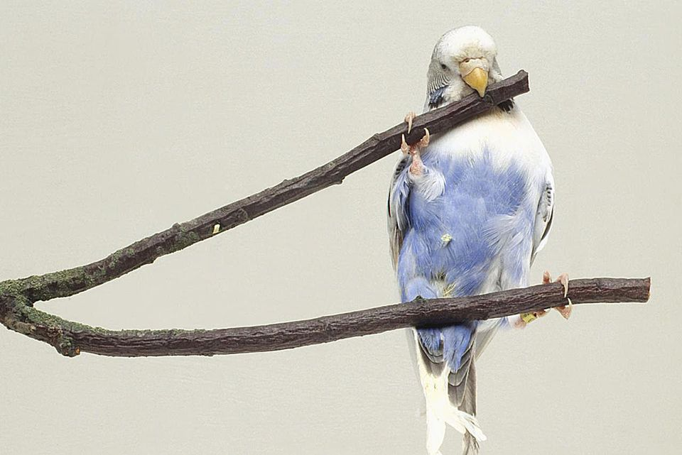 Blue and white budgie biting into twig, front view