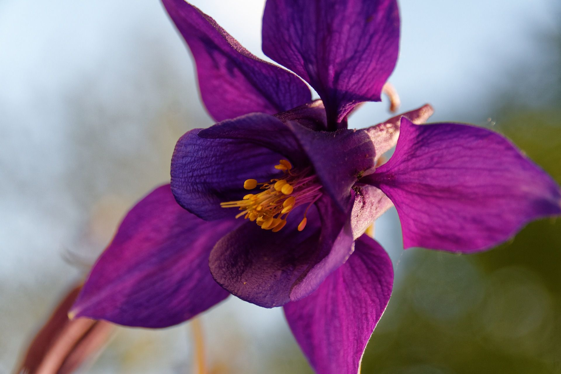Growing and caring for columbine plants aquilegia izmirmasajfo Images