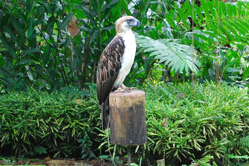 Live Philippine eagle on display, Davao City