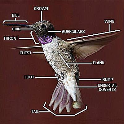parts of a hummingbird anatomy diagram