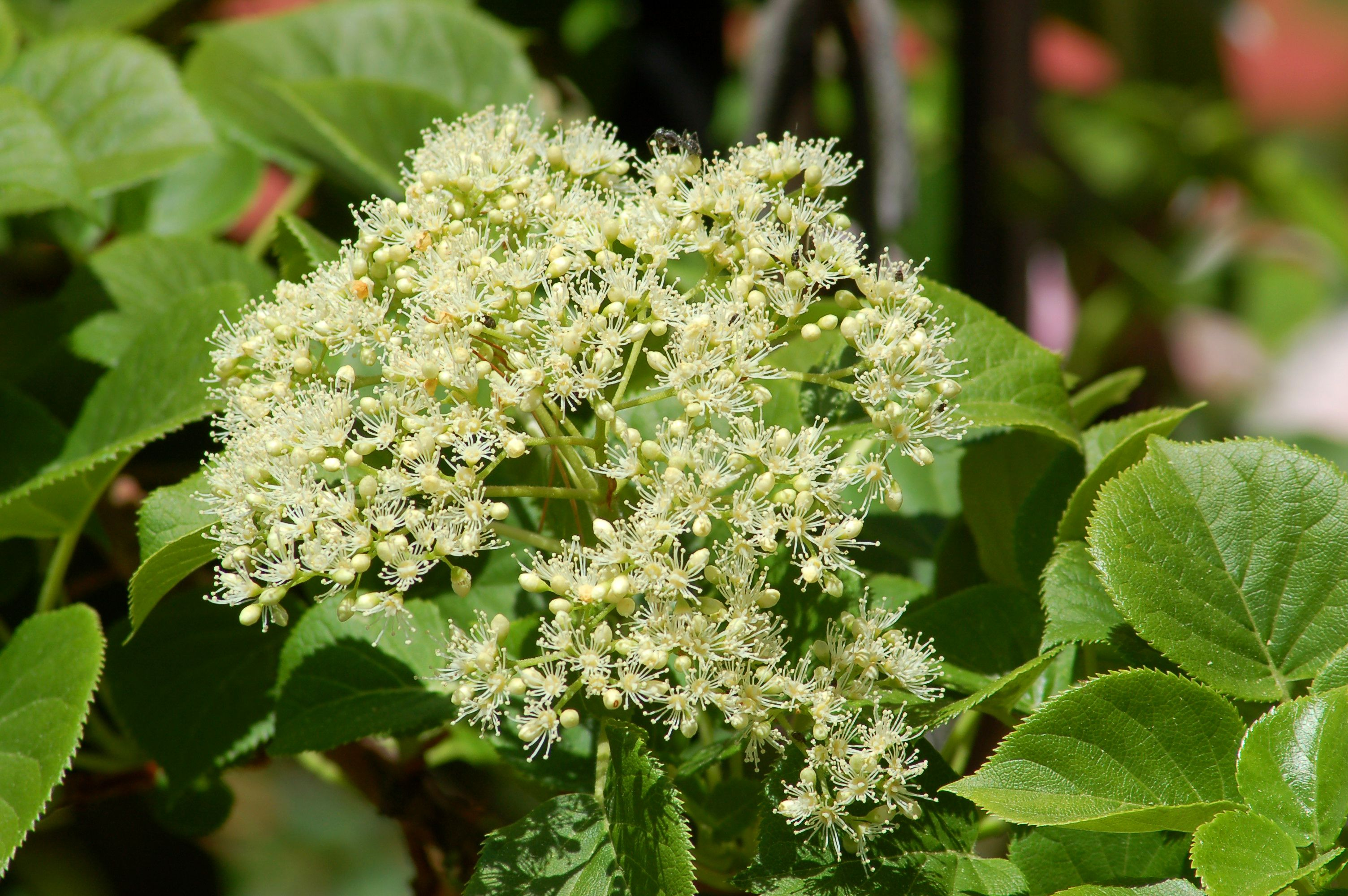 Climbing hydrangeas hardy flowering vines for shade dhlflorist Images
